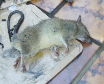 クマネズミの画像 p1_7